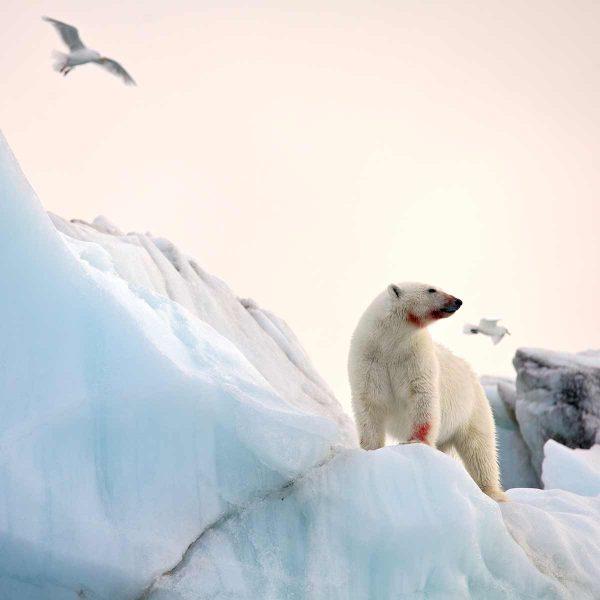 antarctica-polar_bear